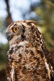 Spotted Eagle Owl Stock Images