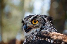 Spotted Eagle Owl Raptor Stock Image