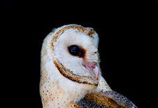 Barn Owl &x28; Tyto Alba &x29; Royalty Free Stock Image