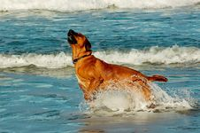 Free Dog Bursting Out Of Ocean Royalty Free Stock Image - 36152616