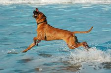 Free Rhodesian Ridgeback On Beach Stock Photos - 36152623