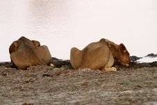 African Lions Back To Back Drinking Time Royalty Free Stock Photography