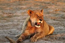 Free Lioness Lazing Stock Photos - 36152863