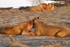 Free Pride Of Lions By A Waterhole Royalty Free Stock Images - 36153099