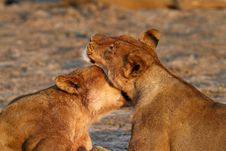 Free Lionesses At Sunrise Royalty Free Stock Image - 36153206