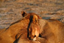 Free Lionesses Lazing Stock Image - 36153351