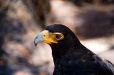 Verreaux S Eagle Aquila Verreauxii Royalty Free Stock Photos