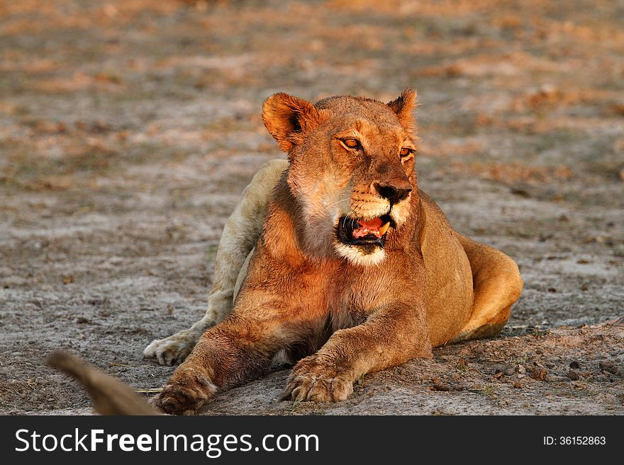 Lioness Lazing