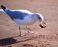 Free Herring Gull With Crab Stock Photos - 36160493