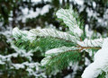Free Pine Branch, Covered With Snow. Stock Photos - 36164283