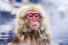 Free Snow Monkey Park Stock Photography - 36162922