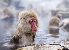 Free Snow Monkey Park Royalty Free Stock Photo - 36162925