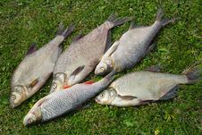 Fish Caught In The River, Lying On The Grass.. Stock Images