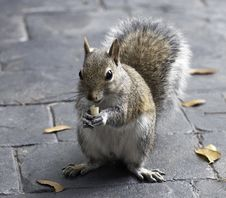 Free Squirrel Eating A Peanut Stock Photography - 36166922