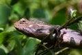 Free Chameleon Stock Images - 36171854