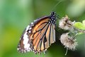 Free Butterfly Stock Photo - 36172130