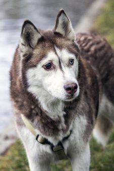 Alaskian Malamut Dog Stock Images