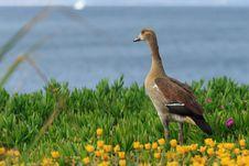 Free Beauftiful Wild Duck Stock Image - 36171321