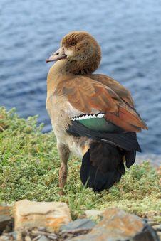 Free Beauftiful Wild Duck Stock Photo - 36171530