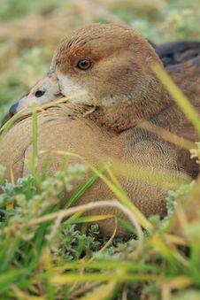 Free Beauftiful Wild Duck Royalty Free Stock Image - 36171716