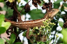 Free Chameleon Stock Photography - 36172042