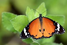 Free Butterfly Stock Image - 36172151