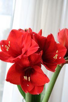 Red Amaryllis Stock Photos