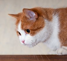 Free Portrait Of A Young Red Cat Royalty Free Stock Photography - 36174647