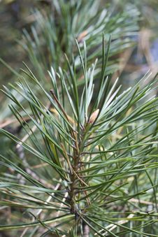 Free Pine Branch Top With Green Needles Stock Photos - 36175663