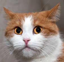 Free Portrait Of A Young Red Cat Royalty Free Stock Image - 36175856