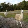 Free Two Llamas In A Safari Park Stock Photography - 36184902