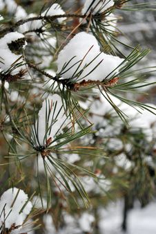 Free Snowy Pine Branches. Royalty Free Stock Photo - 36181085