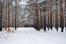 Free Winter Forest Royalty Free Stock Images - 36181159