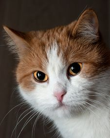 Free Portrait Of A Young Red Cat Royalty Free Stock Photo - 36181225