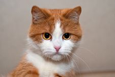 Free Portrait Of A Young Red Cat Royalty Free Stock Image - 36181226