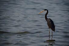 Free Black Heron In The Sea Looks Royalty Free Stock Photo - 36182355