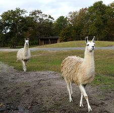 Free Two Llamas In A Safari Park Stock Photography - 36184902