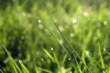 Free Grass With Morning Dew Royalty Free Stock Photos - 36185898