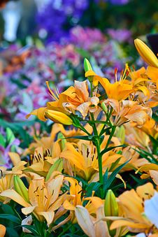 Free Orange Lily Flower Stock Photography - 36186172