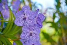 Free Vanda Orchid Royalty Free Stock Photography - 36186227