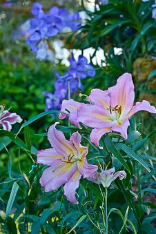 Free Pink Lily Flower In The Garden Stock Image - 36186241