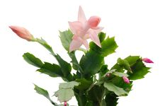 Free Christmas Cactus &x28;schlumbergera&x29; Stock Photo - 36187310