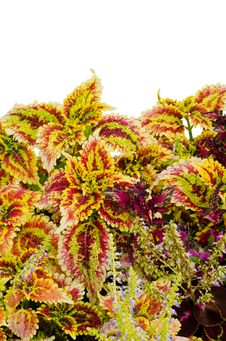Free Coleus Leaves Royalty Free Stock Photography - 36187337