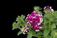 Free Petunia Royalty Free Stock Photography - 36187357