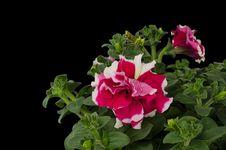Free Petunia Stock Photo - 36187360