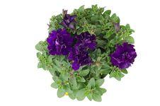 Free Petunia Royalty Free Stock Image - 36187366