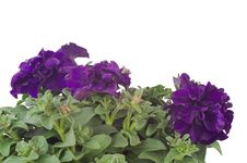 Free Petunia Stock Image - 36187371