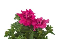 Free Petunia Royalty Free Stock Photo - 36187375