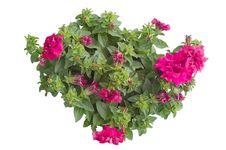 Free Petunia Royalty Free Stock Image - 36187376