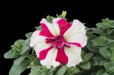 Free Petunia Royalty Free Stock Images - 36187379